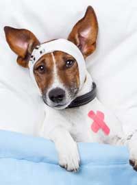 dog in bandages