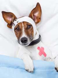 dog in bandages
