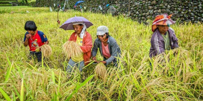 Cost Of Rice Expected To Drop By ₱7 Per Kilo