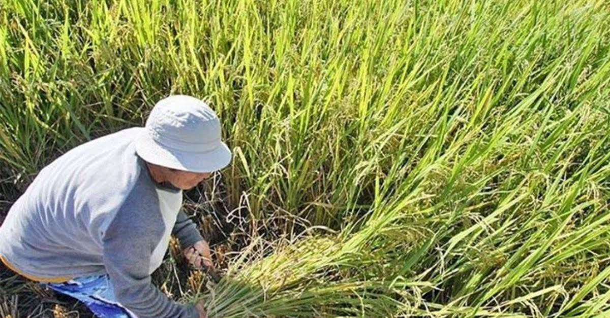 Early Ulysses Advisories Saved Billions Worth Of Crops; DA To Give Financial Aid To Affected Farmers